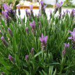 Lavendel Blüten